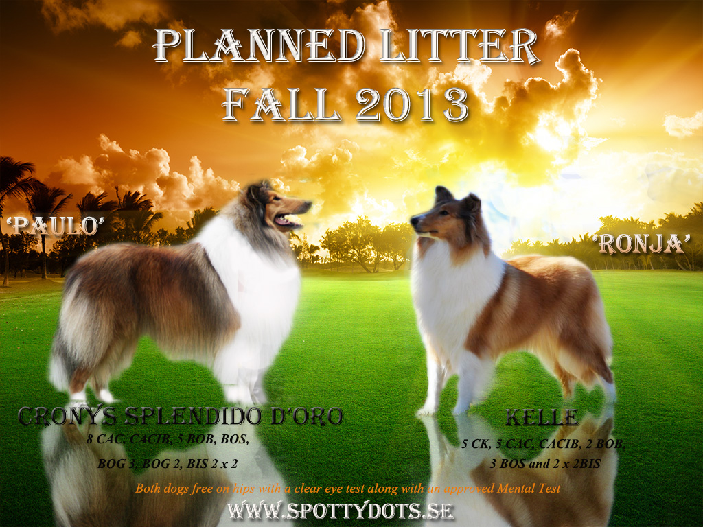 Collie litter 2013
