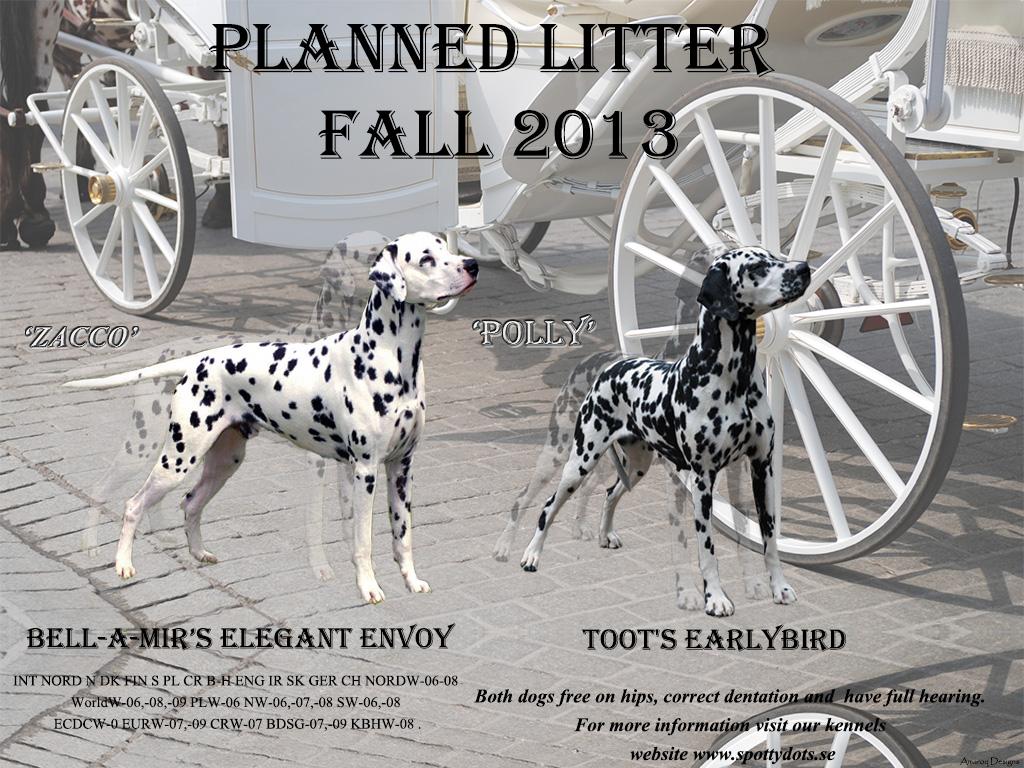 Dalmation litter 2013